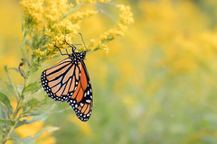 Monarch (ayres_leigh) Tags: butterfly insect nature migration oshawa toronto canon tokina
