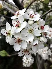 Ornamental Pear Flowers (Helefran) Tags: ivanhoeeastvictoriaaustralia explore blossoms spring2018 tree outdoors outdoor flowers ornamentalpearflowers