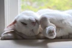 Charlie is a nap enthusiast. (rootcrop54) Tags: charlie white allwhite male nap napping gesture window neko macska kedi 猫 kočka kissa γάτα köttur kucing gatto 고양이 kaķis katė katt katze katzen kot кошка mačka gatos maček kitteh chat ネコ cc100