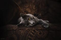 Flirt (beth.oliver) Tags: lensbaby wink dreamy focus goldeyes greycat flirt darktones depth cat russianblue