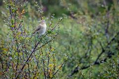 DSC02139 (Andrew Arch) Tags: bird guovdageaidnu warbler kautokeino finnmarkcountymunicipality norway no