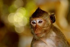 ,, Primate Portrait ,, (Jon in Thailand) Tags: primate monkey ape cave jungle nikon d300 nikkor 70300vr green yellow wildlife wildlifephotography themonkeytemple pinhead