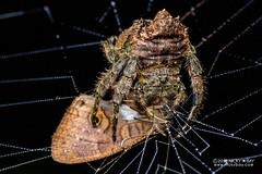 Broad-headed bark spider (Caerostris bojani) - DSC_2935 (nickybay) Tags: africa madagascar macro andasibe voimma caerostris araneidae broadheaded bark spider prey bojani