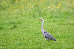 Héron cendré (Pascal Photo Passion) Tags: oiseau verdure nature herbe couleur