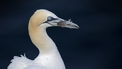 Gannet (andywilson1963) Tags: gannet bird seabird cliff wildlife nature scotland british