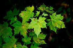 first signs of autumn (Antti Tassberg) Tags: bokeh syksy luonto lehti vaahtera autumn fall leaf maple nature puu tree
