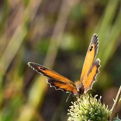 DSC_5429 (GinOu Tchob.) Tags: nikonpassion papillon nature 90mm macro bokeh