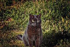 Spuntarello (Pepenera) Tags: cat cats gatto gato gatti black