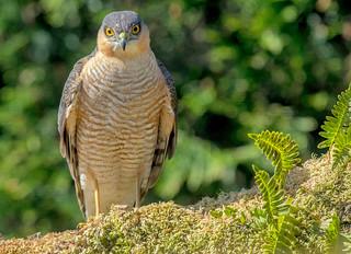 JWL3032 Sparrowhawk..