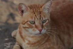 IMG_0035 Rubio, Mallorca (Fernando Sa Rapita) Tags: rubio cat gato gatito mascota pet canon eos200d