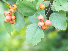 crabapple (wundoroo) Tags: newyorkbotanicalgarden nybg newyork bronx summer august micro43 60mmf28lens fruit tree twinlakes