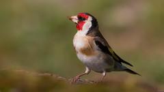 European Goldfinch (keynowski) Tags: europeangoldfinch saka cardueliscarduelis nature ngc animalplanet animal wild wildlife bird ornithology ornito 4k 2160p 70d canon70d canon100400mmisii
