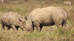 Mama gives a lesson in survival skills (Nagarjun) Tags: lakenakurunationalpark kenya eastafrica wildlife bigfive whiterhino whiterhinoceros southernwhiterhinoceros ceratotheriumsimumsimum safari gamedrive herbivore biggame