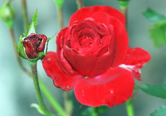 Red beauty (irio.jyske) Tags: rose flower garden park yard backyard beautiful beauty nature naturephoto naturepictures naturescape naturephotos naturephotograph naturephotographer naturepic naturepics natural autumn autumnpic autumntime nice