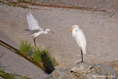 Garzetta _048 Airone bianco maggiore _012 (Rolando CRINITI) Tags: airone aironebiancomaggiore garzetta uccelli uccello birds polcevera genova natura