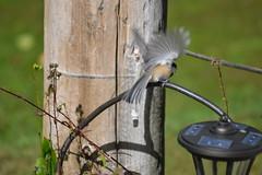 2018-09-10 Bird Watching 26 (s.kosoris) Tags: skosoris nikond3100 d3100 nikon bird birds chickadee camp huronian