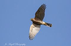 Sparrowhawk (jo.angell) Tags: sparrowhawk bird prey flight buckinghamshire nature wildlife wild sky