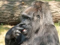 western lowlandgorilla Fatou Berlin Zoo JN6A4027 (j.a.kok) Tags: fatou gorilla westelijkelaaglandgorilla lowlandgorilla laaglandgorilla westernlowlandgorilla animal africa afrika aap ape mammal monkey mensaap primate primaat zoogdier dier berlijn berlijnzoo berlinzoo