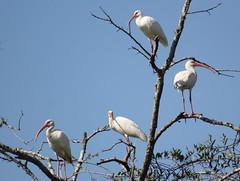 American white ibis (Eudocimus albus) (im2fast4u2c) Tags: american white ibis eudocimus albus sheldonlakestatepark ibisfamily threskiornithidae