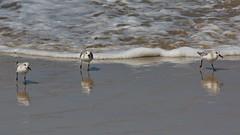 Sanderlings, Playa del Rey, CA CQ4A5401 (Hart Walter) Tags: ballonajetty playadelrey blackoystercatcher willet sanderling westerngull allenshummingbird blackturnstone surfbird