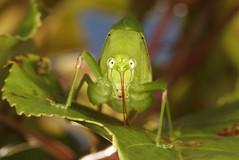 Katydid (Phaneropterinae, Tettigoniidae) (John Horstman (itchydogimages, SINOBUG)) Tags: insect macro china yunnan itchydogimages sinobug entomology canon green katydid bush cricket head orthoptera tettigoniidae phaneropterinae topf25