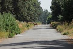 Fallow Deer - Dama dama (Björn S...) Tags: damhirsch damadama fallowdeer gamocomún gamoeuropeo daimeuropéen daim daino dama damma