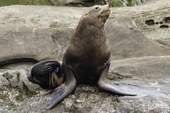 steller sea lion-7196 (pmbell64) Tags: capitalg britishcolumbia canada ca