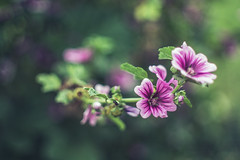 hocks (Sarah Rausch) Tags: hollyhock minolta50mm14 depth bokeh purple 14 sony 50mm