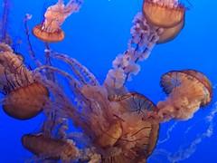 IMG_1220 (paschulea) Tags: monterey aquarium