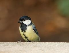 Great tit (PhotoLoonie) Tags: bird wildbird greattit avian wildlife nature