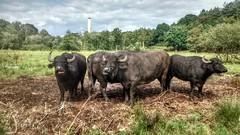 Bully Boys (matlacha) Tags: bull cows nature animals scenery farms hampshire uk
