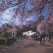 Sakura at Shinjuku Gyoen - Tokyo, Japan