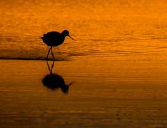 Avocet at Dawn (Peter Quinn1) Tags: titchwell titchwellmarshrspbreserve rspb avocet silhouette marsh dawn morning wader norfolk