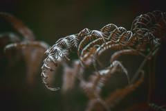 Stamina (iratebadger) Tags: nikon nikond7100 d7100 dark depthoffield dof plant fern brown shadows light fronds nature focus f18 35mm nikkor nikonphotography iratebadger
