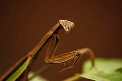 Praying Mantis Portrait