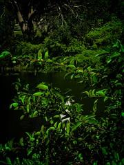 White Bird 42 (LarryJay99 ) Tags: greenery foliage smallwater water pond hammock whitebird egret leaves westpalmbeachflorida nature urbannature birds gorgeousgreen monocolor