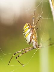 2018-08-20 16-58-06 (C)_1 (turbok) Tags: insekten spinnen tiere wespenspinneargiopebruennichiwaspspider macromondays multicolor