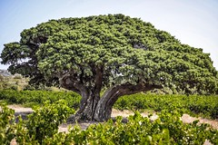 Millenium tree. Genévrier (BadGunman) Tags: vignes vineyard vine green france genevrier tree millenium