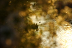 River of Gold (Nathalie_Désirée) Tags: tubingen boat boating rowing water waterscape canoneos600d canon50mm f18 reflection flower bokeh interesting summer mystery fairytale people sihouette tübingen badenwuerttemberg germany august evening goldenhour serenade