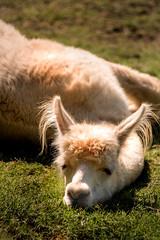 Tired Llama 3-0 F LR 8-26-18 J099 (sunspotimages) Tags: animals animal nature farmanimal farmanimals llama llamas nationalzoo fonz fonz2018
