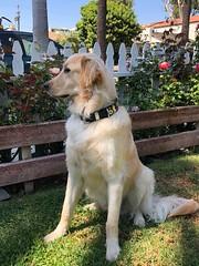 Duke2 (Alpen Schatz - Mary Dawn DeBriae) Tags: happy customer alpenschatz bernesemountaindog dog swissdogcolar hunterswisscrosscollar doggles stein