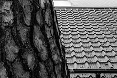 S18X6819 (Daegeon Shin) Tags: fujifilm xpro2 fujinon 1855 xf1855 bw contrast contraste 질감 texture textura pino pinetree 소나무 roof techo 자연 nature naturaleza artificial manmade 후지 후지논 흑백 패턴 pattern