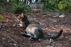 Camille finds the last light of the day (rootcrop54) Tags: camille female mackerel tabby dusk sun light neko macska kedi 猫 kočka kissa γάτα köttur kucing gatto 고양이 kaķis katė katt katze katzen kot кошка mačka gatos maček kitteh chat ネコ