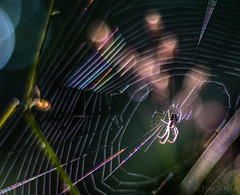 Spinning a Rainbow (Don White (Burnaby)) Tags: 10mm centralpark extensiontube nikon50mm18d spider spiderwebmacro bokeh