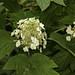 Hydrangea quercifolia (oakleaf hydrangea), inflorescence with Lepturinid beetle, ?Judolia cordifera