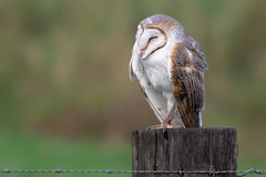 Eastern Barn Owl (Tyto javanica) (Ian Colley Photography) Tags: daintree queensland bird canoneos7dmarkii ef500mmf4lisusm easternbarnowl tytojavanica