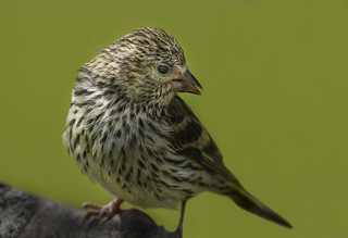 Siskin - For me as hard to photograph as fast flying raptor