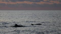 2018.08.16 Urlaub Mallorca (120b) Delfin Tour Katamaran Cala Ratjada (klemenshorst) Tags: mallorca delfin meer urlaub hai palma cala ratjada es caregador capdepera