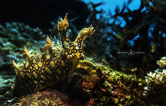 SEA DRAGON (@ndredupreez) Tags: aquatic animal scuba southafrica sea sealife scubadiving slug nature nudibranch underwater underwaterphoto canon canong16 diving dive colourful macro marine uwphoto sodwana