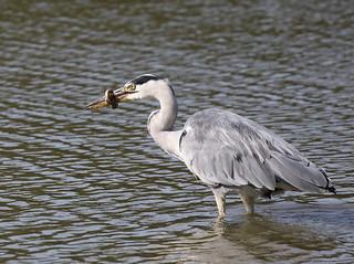 Grey Heron and Eel